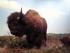 American Bison (cosraifoto) Tags: oklahoma museum stuffed buffalo samsung norman prairie bison samnoble nv10