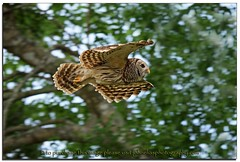 Barred Owl in flight (John Elias Photography) Tags: wild green dinner island flying earth flight free sharp owl laser determined tones focused owls barred