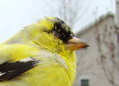 Blind eye goldfinch
