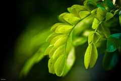 Waking up (knowsnotmuch) Tags: light green nature leaves dof bokeh droopy tender raintree 105vr