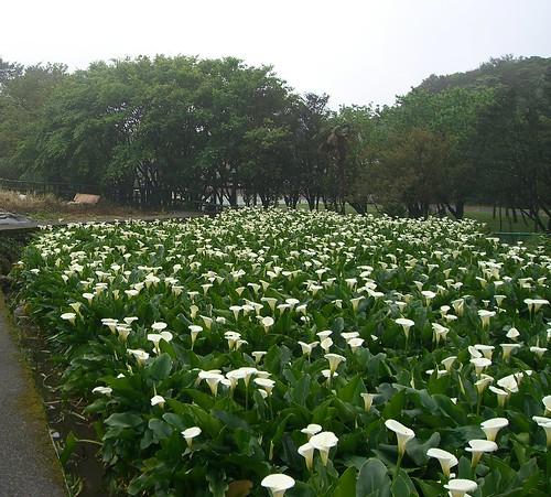 Calla-lily flower farm