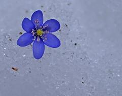 Between winter and spring (randihausken) Tags: spring vr liverleaf blveis blueribbonwinner diamondclassphotographer flickrdiamond flowerwatcher brillianteyejewel 4mazingorgeoushotsoflowers