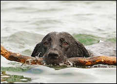 Fetch!! (Dan Sutton) Tags: dog pet lake water animal swimming swim canine retriever suzy blacklab lakeontario supershot abigfave nikond80 anawesomeshot impressedbeauty 70300vrlens