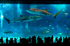 Aquarium - Okinawa Churaumi (takay) Tags: blue japan aquarium shark bravo okinawa whaleshark bec   churaumi firstquality littlestories  takay fiveflickrfavs picswithsoul