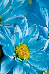 Blue Carnival (Ageel) Tags: flowers blue white flower macro cute art colors beauty yellow closeup d50 studio lens photography nikon colorful photographer dof fineart kingdom arabic 55mm arab micro saudi sa 1855mm arabian jeddah nikkor saudiarabia flo freelance photogenic ksa zoomin homestudio hejaz freelancer     jiddah     ageel