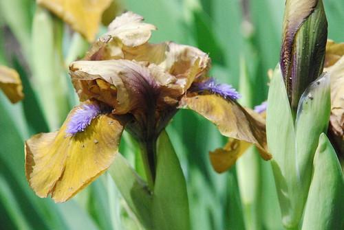ID?  Miniature/Dwarf Iris