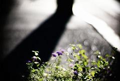 aftermath (moaan) Tags: life leica light shadow summer flower digital 50mm flora dof bokeh f10 utata m8 bloom flowering noctilux roadside telegraphpole remains 2009 blooming inbloom toomuchlight inlife leicam8 bytheroadside leicanoctilux50mmf10 remainsofsummer gettyimagesjapanq1 gettyimagesjapanq2