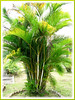 Dypsis lutescens (Butterfly Palm, Yellow Butterfly/Bamboo Palm, Yellow Palm, Golden Yellow Palm, Golden Feather/Cane Palm, Cane Palm, Areca Palm, Madagascar Palm)