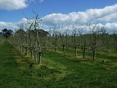 Budding Fruit Trees (Tkuta) Tags: newzealand hawkesbay hawkesbaynz