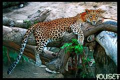 At rest (YOUSEF AL-OBAIDLY) Tags: gold wildlife tiger  kvwc kuwaitvoluntaryworkcenter  teacheryousef