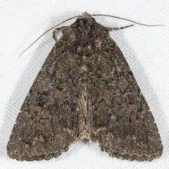 Aseptis ethnica 20070727_3994 (GORGEous nature) Tags: washington moth july lepidoptera skamaniaco gpnf noctuidae wa biglavabed xyleninae 2000ft aseptis aseptisethnica mona9531 ipiomorphini fr66 johndavis