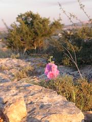 Wild flower in the hills (IsKaMaSe) Tags: palestine jenin palästina