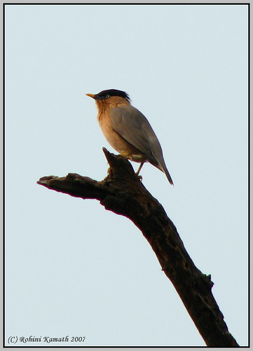 Brahminy Starling