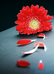 Loves Me Not... (gardner-photo) Tags: flower petal gerber gerberdaisy lovesme lovesmenot