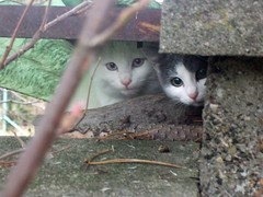 Chats (blogspfastatt) Tags: pet cats cute beauty cat chats nice kitten chat cut kitty kittens katze gatto kot kissa pfastatt avision mothernatureatherbest camfjan08 blogspfastatt