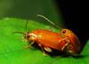 Mating bugs DSC_6142