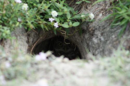 burrowing owls 1-26-08 054