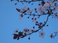 Plum blossoms already in bloom (emmc) Tags: sf sanfrancisco pink flowers sky plants 2008 plumtree citywalk pinkflowers plumblossoms sfstairwaywalk feb2008 stairwaywalk treeagainstsky 17feb2008 flowersagainstsky stairwaywalk3