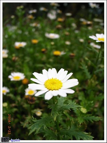 陽明山花季 035