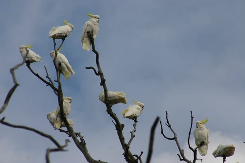White cockatoos, near Sale, VIC.