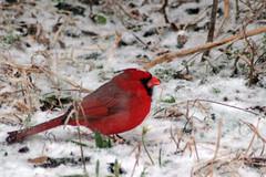 MSH 12/08 Snow Birds (Lightning Bug Creek) Tags: snow bird march texas cardinal rare redbird naturewatcher msh1208 lightningbugcreek amyspivey msh120817