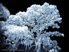 For You Blue (Michael Pancier Photography) Tags: venice trees moss florida infrared fineartphotography naturephotography seor naturephotographer venicerookery floridaphotographer michaelpancier michaelpancierphotography platinumphoto wwwmichaelpancierphotographycom seorcohiba