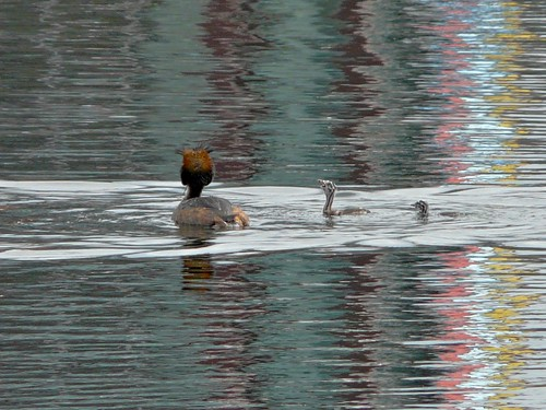 Grebe chicks looking for food on Canada Water