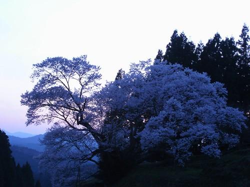 仏隆寺(千年桜)ライトアップ-01
