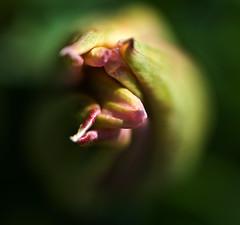 unfolding (flower74) Tags: pink green bokeh tulip unfolding aplusphoto flower74 themacrogroup macroflowerlovers