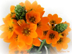 My sun stars . . . (TulipFleurs) Tags: home sensational athome soe naturesfinest sunstars flowersmacroworld excellentsflowers iamflickr 4mazingorgeoushotsoflowers natureselegantshots mimamorflowers