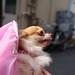 チワワ:Chihuahua_05