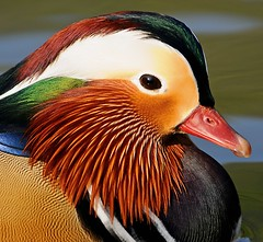 another mandarin portrait (earlyalan90 away awhile) Tags: soe aplusphoto natureselegantshots