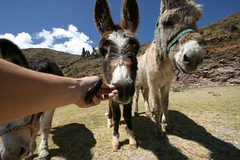 Curious mules.