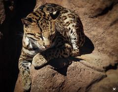 Ocelot Nap time (ELAINE'S PHOTOGRAPHS) Tags: felines cats bigcats nature wildlife animals spots ocelots