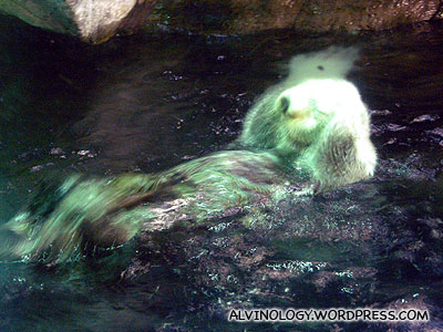 Sea otter washing its face