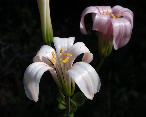 Redwood Lily 06