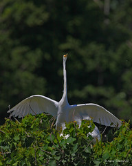 Adult Great Egret returning to the nest (bunnyfrogs) Tags: wild bird animal island high texas nest tx wildlife great wing smith oaks egret wingspan rookery