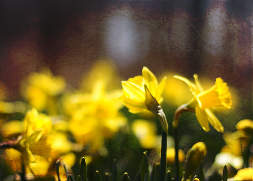 Textured Daffodils