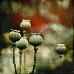 crowned heads (Sarah P) Tags: textures poppies 60mm gamblegarden flypaper poppypods hbw idream contemporaryartsociety overtheexcellence nikond700 crownedheads saariysqualitypictures artistictreasurechest darkwood67 magicunicornverybest magicunicornmasterpiece sailsevenseas sbfmasterpiece flypapertexture flyedge sarahp art2011 sbfgrandmaster asquaresuperstarstemple sarahputerbaugh
