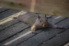 """I AM ONE WITH THE WOOD: I AM ONE WITH THE WOOD, PLEASE GO AWAY GROWLING DOG!"" (linnydoldoh) Tags: nature squirrel humor"