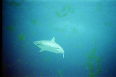 Shark (Len Radin) Tags: white danger shark scuba caribbean interestingness45 i500 photomino