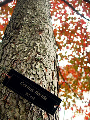 look for me under the trees (the kelp knot) Tags: autumn plant tree fall nature sign metal plaque botanical words flora connecticut name arboretum bark trunk dogwood botanique botanica cornus cornusflorida cornaceae conncoll floweringdogwood connecticutcollegearboretum courtnayjaniak