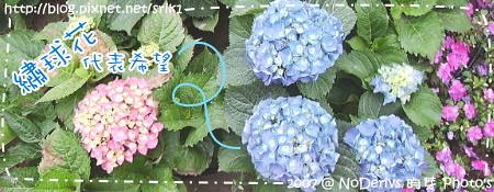 繡球花的花語是『希望』