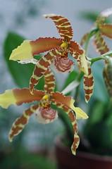 Odontoglossum Rawdon Jester orchid hybrid (nolehace) Tags: orchid flower jester hybrid odontoglossum rawdon yahooimport1107
