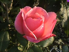 Melting for a rose (skippi1234) Tags: flowers rose fleurs garden