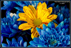Cut Flowers. Thanks. (Paul Iddon (www.pauliddon.co.uk)) Tags: blue orange macro petals blooms excellence cutflowers sigma105 iddon superaplus aplusphoto flickrenvy riotofcolours colourartaward themacrogroup