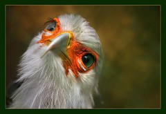 The devoted secretary (hvhe1) Tags: bird nature animal bravo quality wildlife secretarybird interestingness4 specanimal animalkingdomelite hvhe1 hennievanheerden anawesomeshot avianexcellence bratanesque