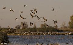Ducks-Landing (larryhendler) Tags: nature wildlife reserve ducks sacramento waterbirds birdinflight