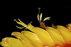 Bromeliad Flower