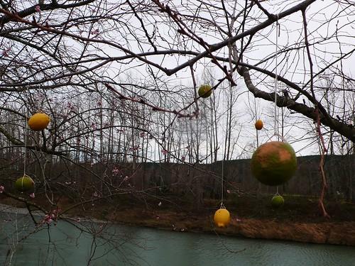 櫻花樹長檸檬?